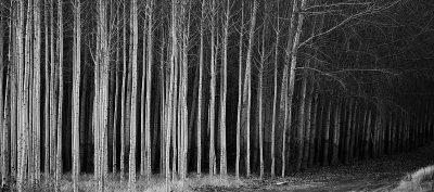 cottonwoods_near_hermiston
