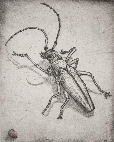mazama_beetle